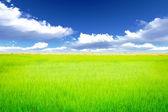 米草原 — ストック写真
