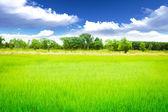 Rice meadow — Stock Photo