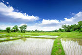 水稻草甸 — 图库照片