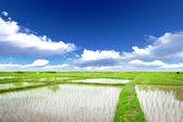 Arroz prado — Fotografia Stock