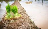 Seedlings rice — Stock Photo