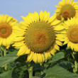 Stock Photo: Yellow sunflowers in summer