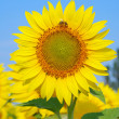 Sunflower with bee against the azure sky, close-up — Stock Photo