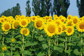 Sunflower field in the summer — Stock Photo