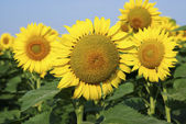 Yellow sunflowers in the summer — Stock Photo