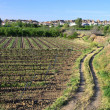 Spanish vineyards near Purullena — Stock Photo