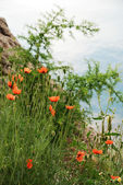 Poppies flowering on the mountain slope. — 图库照片
