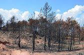 Burnt forest — Stock Photo