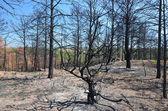 Floresta queimada — Fotografia Stock