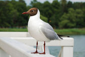 Close-up of sea gull on white handrail — 图库照片