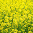Close-up of canola field flowering — Stock Photo