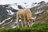 Cattle in the spring Pyrenees — Stock Photo