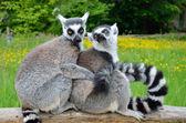 Amontoado de lêmures, ao ar livre — Fotografia Stock