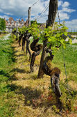 Famous vineyards of the Chateau de Monbazillac — Stock Photo