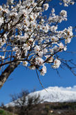 Almond tree flowering in the mountains — Stock Photo