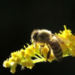 Honey bee on yellow flower macro summer heat — Stock Video