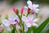 Indian park. Periwinkle. pink flower — Stock Photo