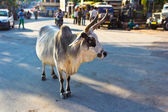 Cow on the street of Indian town — Stock Photo