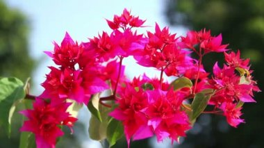 Indian flowers. Mysore. India — Video Stock