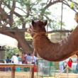 Stock Video: Camel on street in India