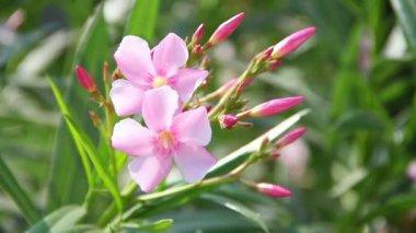 Indian flowers. Mysore. India — Stock Video