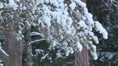 Snow on pine branch. St. Petersburg. Russia — Stock Video
