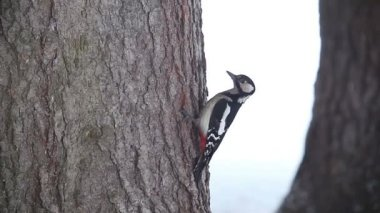 Woodpecker on a pine tree. St. Petersburg. Russia — Stock Video