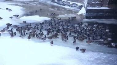 Ducks in the canal of St. Petersburg. Russia — Stock Video