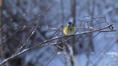 Tits on fir in winter forest. St. Petersburg. Russia — Stock Video
