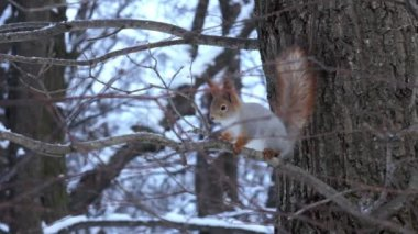 Squirrel in the winter forest. St. Petersburg. Russia — Vídeo Stock