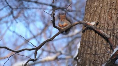 Squirrel in the winter forest. St. Petersburg. Russia — Stock Video
