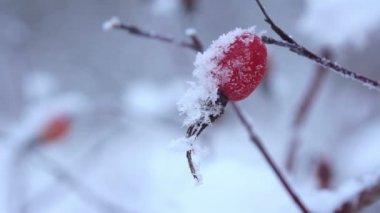Frozen berries under snow. St. Petersburg. Russia — Stock Video