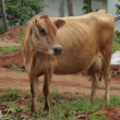 Cow in the village. Mysore. India — Stock Video