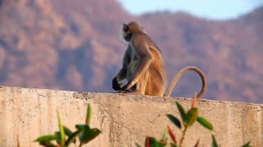 Langur monkey in the Indian city — Stock Video