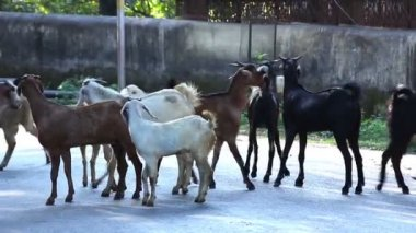 Goats on the streets of the Indian city — Stock Video
