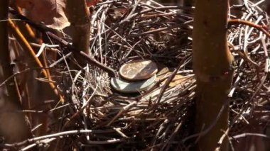 Gold coins a bird's nest. St. Petersburg. Russia — Stock Video