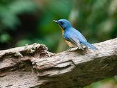 Blue hill flycatcher — Stock fotografie