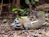 Squirrel . — Stock Photo