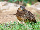 Scaly-breasted Partridge . — Foto Stock
