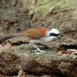 White-crested Laughing Thrush — ストック写真