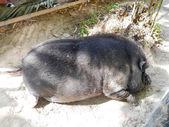 Pig sleep. — Stock Photo