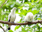 Bird pied imperial pigeon. — Stock Photo