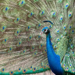 Peacock spread tail-feathers. — Stock Photo