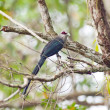 Bird green-billed malkoha. — Stock Photo