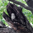Bird spotted owlet . — Stock Photo
