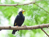 Bird golden-crested myna. — Stock Photo