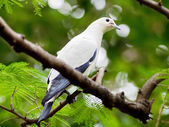 Bird pied imperial pigeon. — Stock Photo