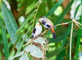 Bird silver broadbill. — Stock Photo