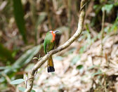 Red-bearded Bee-eater — Stock Photo