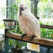 Stock Photo: Cockatoo .